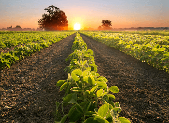 several rowes of crops on a farm at sunset
